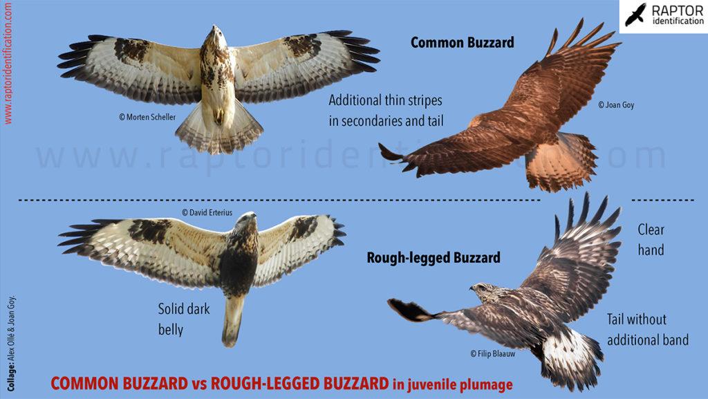 Buteo-lagopus-juvenile-plumage-rough-legged-buzzard-common-buzzard-identification