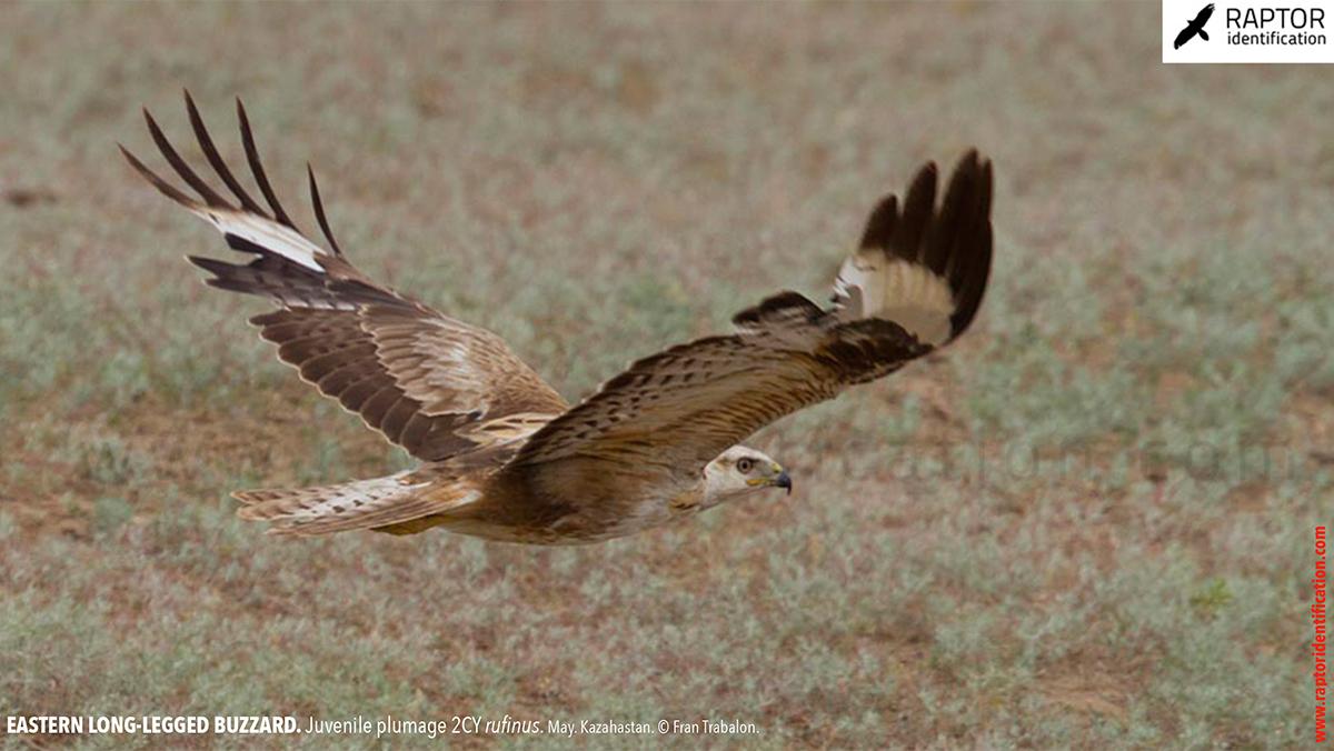 Buteo-rufinus-rufinus-juvenile-plumage-identification