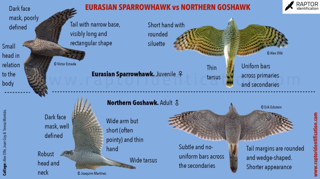 Northern-Goshawk-Eurasian-Sparrowhawk-in-flight