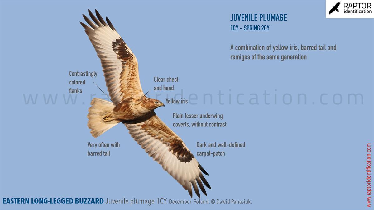 Eastern-Long-legged-Buzzard-Juvenile-identification