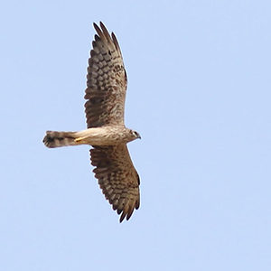 Montagu's-Harrier-2nd-plumage-female-identification
