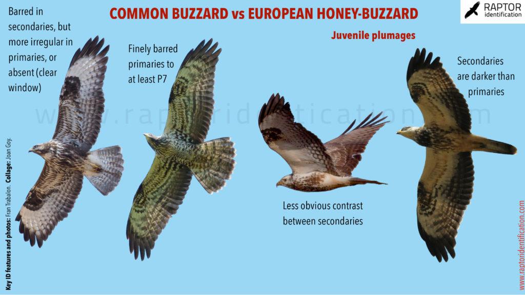 Common-Buzzard-vs-European-Honey-Buzzard-in-juvenile-Plumage