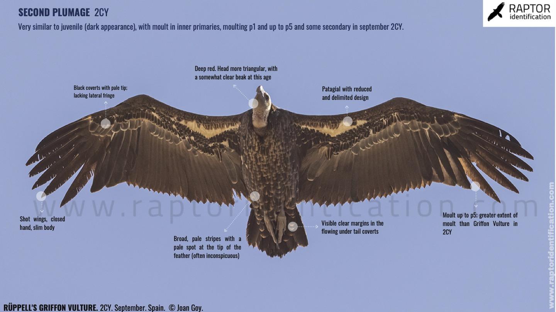 rupells-vulture-gyps-rupell-identification