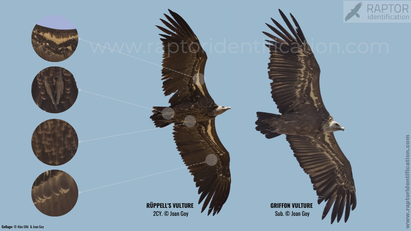 collage-vulture-gyps-rupell-fulvus