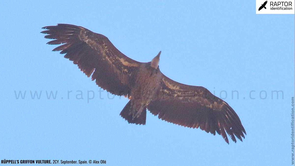 rupell-vulture-identification