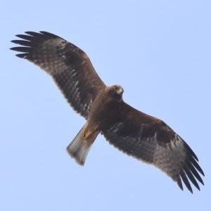 Booted-Eagle-Juvenile-plumage-dark-morph-identification