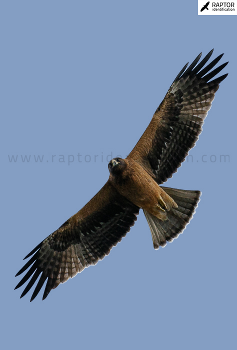 booted-eagle-identification