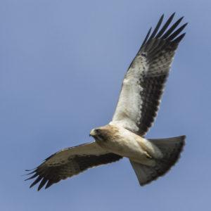 Booted-Eagle-Juvenile-plumage-identification