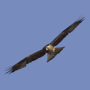 Booted-Eagle-Transitional-plumage-dark-morph-identification